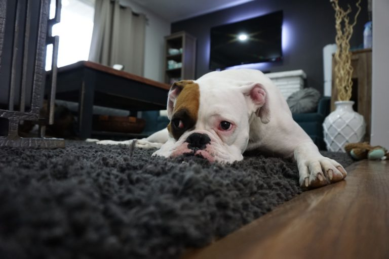 How-to-get-the-Smell-of-Dog-and-Cat-Urine-Out-of-Carpet